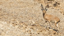 Nubian Ibex by the Dead Sea
