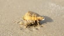 Mediterranean Cone snail