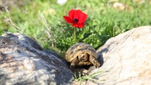 A common tortoise sunbathing in the winter sun
